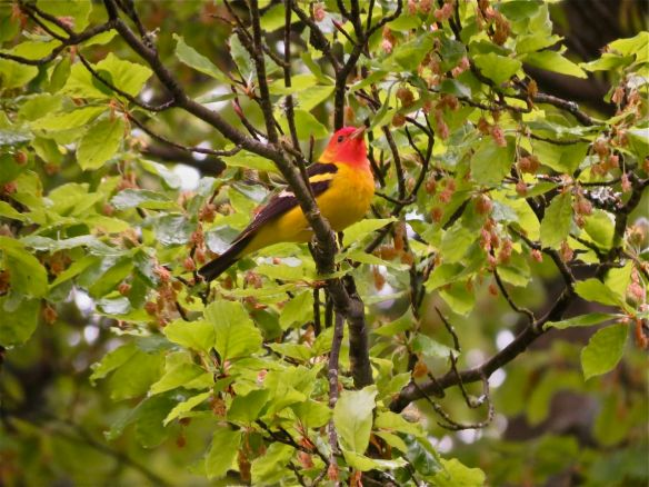 The Western Tanager is a spectacular, and quite commone neo-tropical migrant. Despite its bright colours it can be virtually invisible in a leafy, green tree. Many people are surprised that it's quite common here and breeds widely in Burnaby parks.