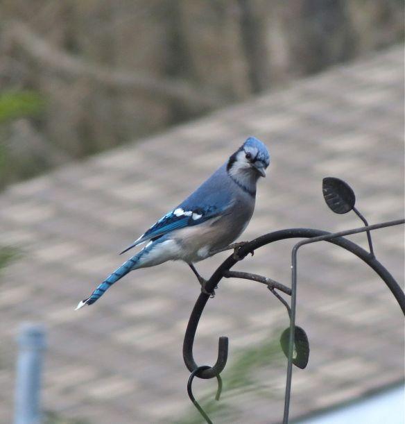 Blue Jay #3