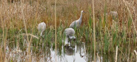 Sandhill Cranes at Reifel Migratory Bird Sanctuary, Delta